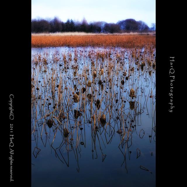Lotus Pond in Winter *