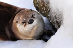 River Otter (affinity579) Tags: winter nature animal nikon quebec wildlife otter 70200mm ecomuseum d90 specanimal abigfave