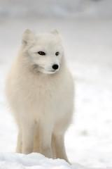 Arctic Fox DSC_1799