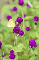 Butterfly & Globe Amaranth