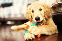 Gru (anthonyhelton.com) Tags: dogs golden retriever mansbestfriend 50mmf14 gru 5dii