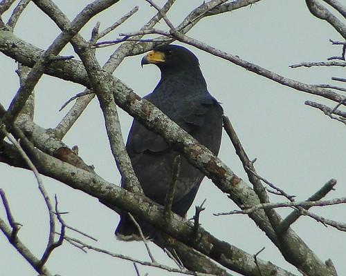 Gavilán cangrejero [Common Black-Hawk] (Buteogallus anthracinus anthracinus)