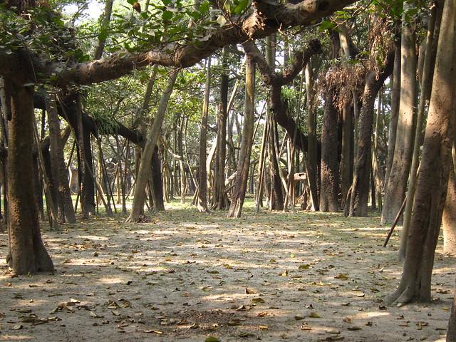Banyan clearing