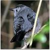 Gray Catbird  La Chua Trail Payne's Prairie Micanopy, Alachua, Florida 2/14/11 4:57:33 PM ...