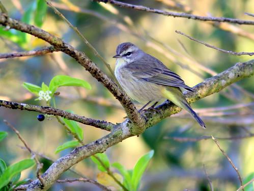 Palm Warbler 20110218