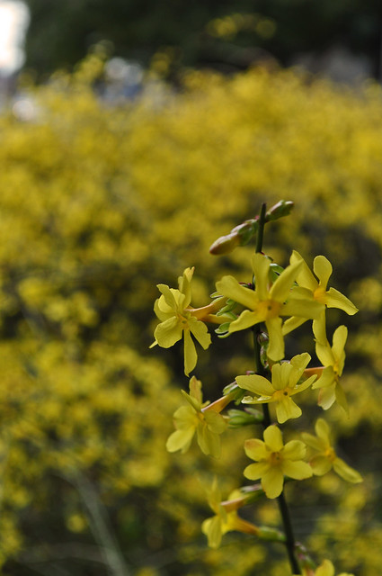Jasminum nudiflorum (4)