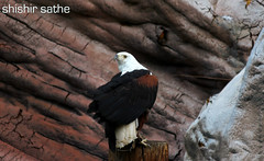 Kite (sathellite) Tags: kite nature birds lazoo milvus migrans sathellite shishirsathe shishirsathephotography