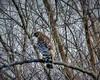 A Hawk Surveying His Wild Kingdom (deepintheforestcat) Tags: featherweights leaflesstrees mygardeninwinter carlsbirdclub ahawksurveyinghiswildkingdom treebranchthicket