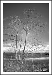 Trees in Infrared - London's Landing 7009e (Harris Hui (in search of light)) Tags: longexposure trees canada monochrome vancouver 35mm river ir mono blackwhite bc richmond filter infrared pro fujifilm fraser digitalbw s3 fraserriver steveston hoya r72 fixedlens daytimelongexposure fujis3pro irbw invisiblelight infraredbw hoyar72irfilter londonslanding nikon35mmf18 harrishui vancouverdslrshooter