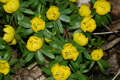 Eranthis hyemalis (Winter Aconite) (S. Rae) Tags: ranunculaceae aconite eranthis