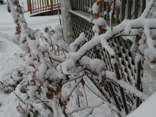 snow02-25-11wetrosetrellis