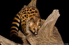 Rusty-spotted Genet (Will Burrard-Lucas   Wildlife) Tags: night nocturnal kenya masaimara genet rustyspotted