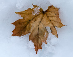 stritz-4095.jpg (jstritz) Tags: winter abstract leaves photoshow fhsp