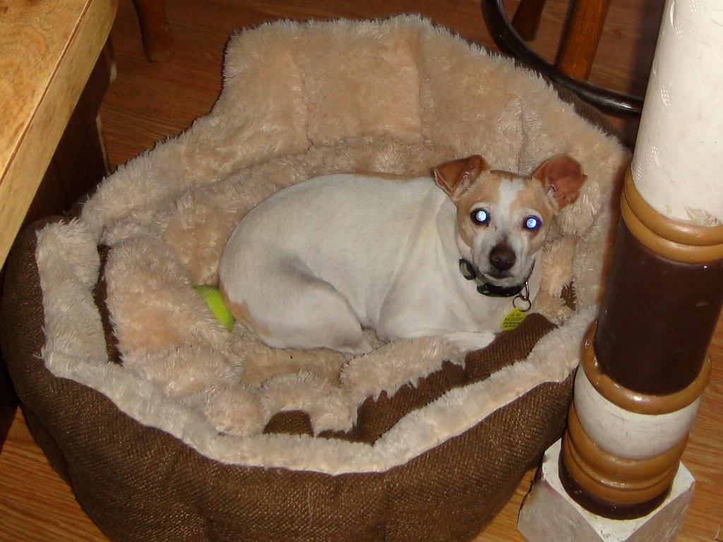 Simple Chihuahua Chubby Adorable Dog - 5492959184_53bc8c0fdf_b  2018_499012  .jpg