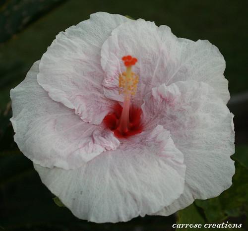 PAD 059 28.02.11 Hibiscus