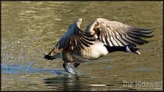 The chase (Simon Bone Photography) Tags: uk bird nature flying bigma wildlife goose 7d chase splash flapping flap canadageese sigma50500mm wwwthehidawaycouk tehidycountrypark canoneos7d thewonderfulworldofbirds slbdefendingterritory