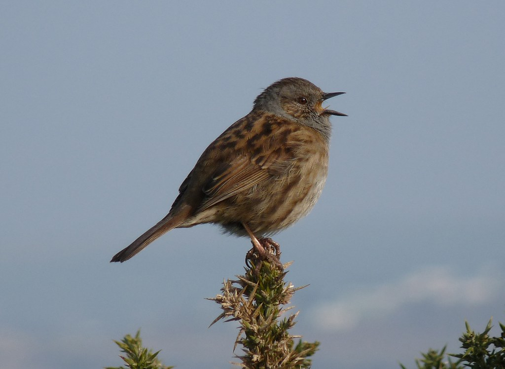 23944 - Dunnock, Worms Head, Rhossili, Gower