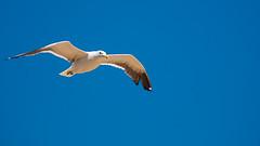 (sis Martins) Tags: blue sky rio vovo azul brasil riodejaneiro flying flyer himmel buzios blau mwe ceu ferien passaro vogel gaivota fliegen voando ceuazul blauehimmel mwe novembro2009 amfliegen