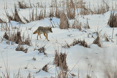 Hunting Coyote DSC_5128 by Mully410 * Images