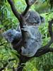 Koala and Her Joey (Xtoffa) Tags: animal pen zoo sydney olympus koala olympuspen current 43 taronga tarongazoo fourthirds specanimal tarongapark epl1 microfourthirds mygearandme mygearandmepremium xtoffa olympusepl1