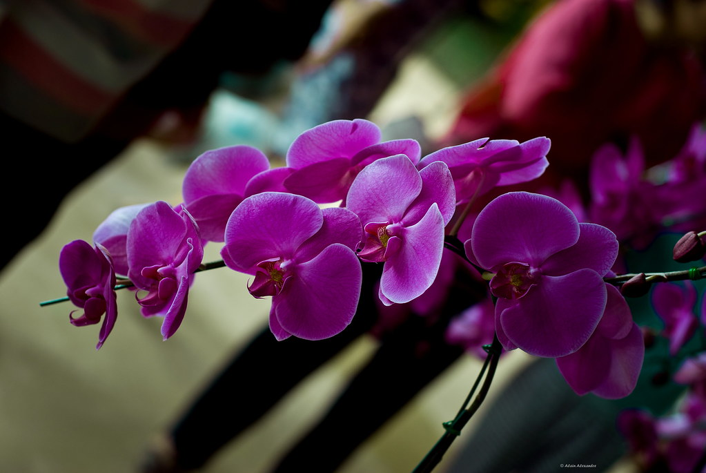 Ascocentrum orchid Thailand