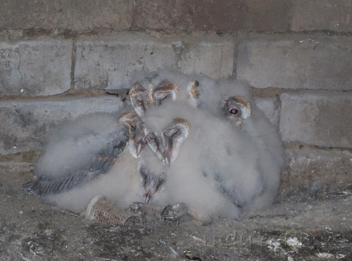 Western Barn Owl , in a huddle  for  warmth, at  least one is keeping  watch_2047