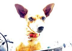 La Cagnolina in bici (Mariano Pallottini - Le Marche) Tags: italy dog animal marche