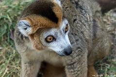 P1060261 (LaBonVampire) Tags: lemur animals nature leica leicalenses lumix
