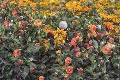 Flora Plenteous 68 (pni) Tags: flower plant multiexposure multipleexposure tripleexposure musiikkitalo musikhuset musiccentre helsingfors finland suomi pekkanikrus skrubu pni