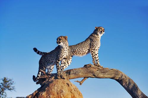 フリー写真素材, 動物, 哺乳類, ネコ科, チーター,
