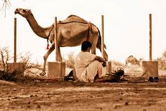 (**Waddah**/) Tags: desert camel arab saudi