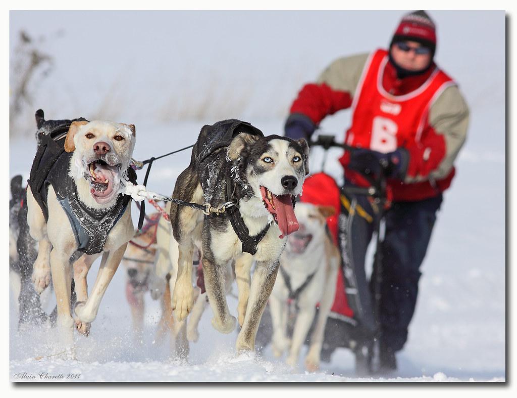 Course de chiens /Sled dog racing IMG 8919 copie