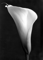 Perfect Calla in B&W (akki14) Tags: dusty print blackwhite lily calla messy hp5 rc ilford sloppy