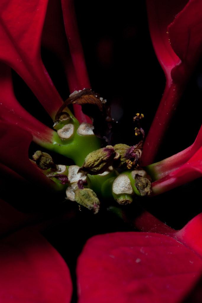 Poinsettia #2