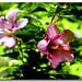 Spring Break: Rose of Sharon