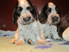 Little Confidential with here Sister (excellentzebu1050) Tags: dog puppy farm cockerspaniel animails spanielpuppy 100commentgroup cockerpuppy