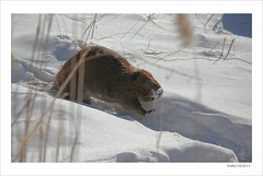 Got Snow ? Beaver (Eddie_NewYorkNature) Tags: snow beaver americanbeaver beaverinsnow