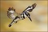 "2.5 Million ""Thank You""s ! (hvhe1) Tags: africa bird southafrica wings bravo thankyou wildlife flight safari kingfisher afrika pied mala hover hovercraft gamedrive gamereserve piedkingfisher ijsvogel natureanimal specanimal hvhe1 bonteijsvogel avianexcellence hennievanherden"