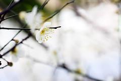 生命如幻影 Life is... (samyaoo) Tags: bokeh plum taiwan 台灣 plumblossoms 梅花 百微 散景 ef100mmmacrof28