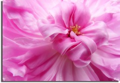 La Dernire Valse...The Last Waltz (maiptitfleur) Tags: macro nature rose closeup rosa panasonic satin ruban roseancienne panouie close maiptitfleur