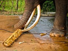 Кушающий слон
