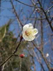 南高梅が開花しました!!