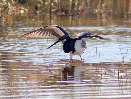 Tricolored Heron dance 3-20110130