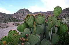 Cuatro cinegas, estribaciones de la sierra de San Marcos IMG_2470-ed (fernandodelatorre46) Tags: cactus mxico cacti mexic