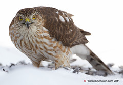 pervier Brun / Accipiter striatus / Sharp-Shinned Hawk (RichardDumoulin) Tags: snow bird nature oiseau sharpshinnedhawk canon500f4 pervierbrun canon1dmarkiv