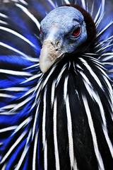 Geierperlhuhn (Michael Döring) Tags: gelsenkirchen bismarck zoomerlebniswelt zoo geierperlhuhn afs70200 d300 michaeldöring inexplore