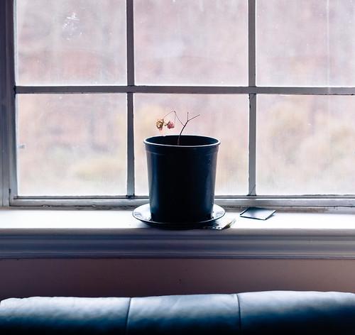 Baby Maple in Winter Window