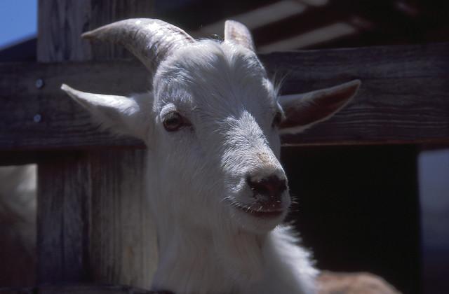 ヤギのフリー写真素材