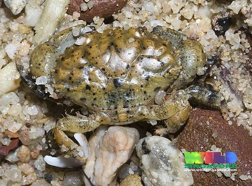Pilodius rock crab (Pilodius sp.)