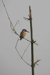 Eurasian Kingfisher ! (Lopamudra !) Tags: bird kingfisher eurasian westbengal lopamudra purbasthali